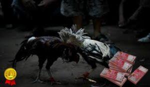Tips Kemenangan Main Judi Ayam S128
