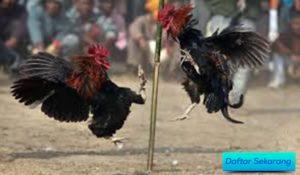 Tips Cari Agen Laga Ayam Yang Terbukti Bisa Dipercaya